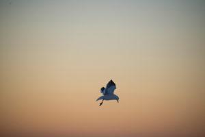 Sea Gull Lara Thomas